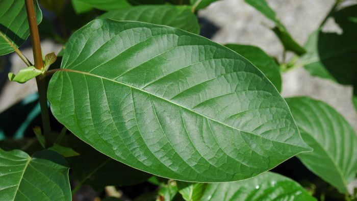 Best Kratom Strains for an Energy Boost